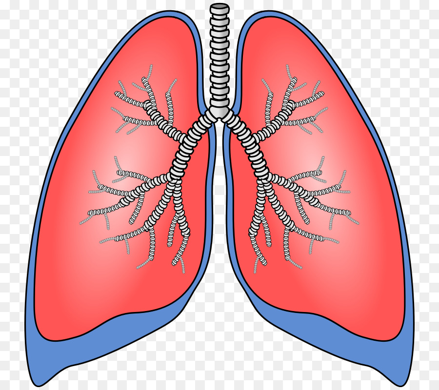Lung Scalable Vector Graphics Breathing Clip art - Human Anatomy ...