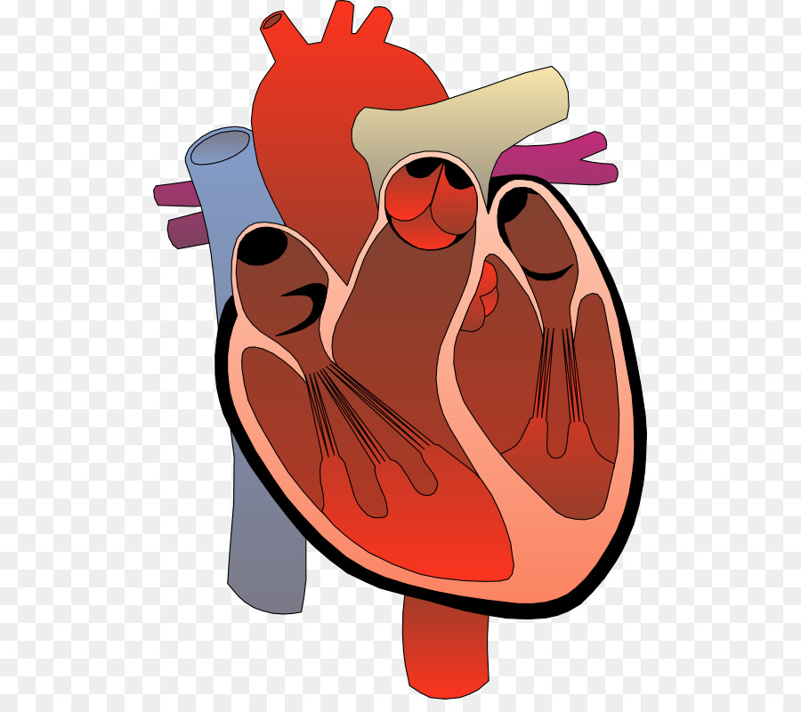Heart Anatomy Diagram Circulatory system Clip art - Hope Heart ...
