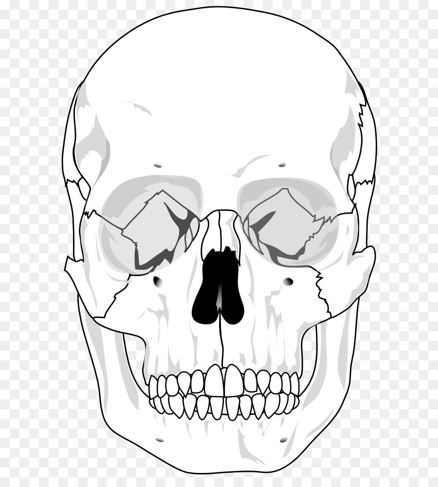Cráneo esqueleto Humano Anatomía Ósea Diagrama - Cráneo Cabezas De ...