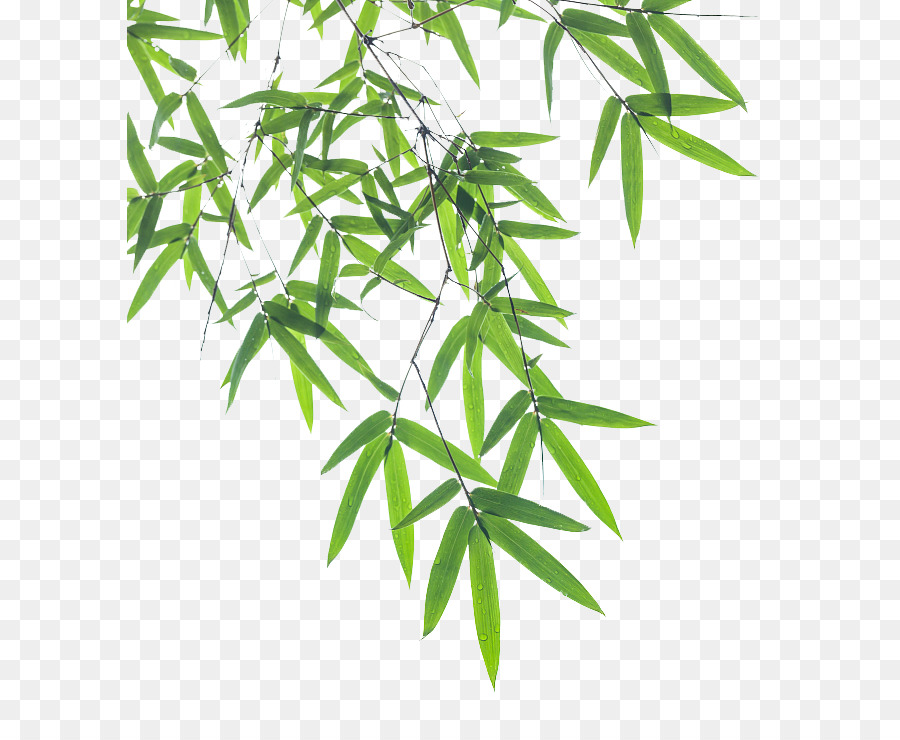 Bamboo Leaf Euclidean Vector Bamboo Pictures 646 722 Transprent Png Free Download Leaf