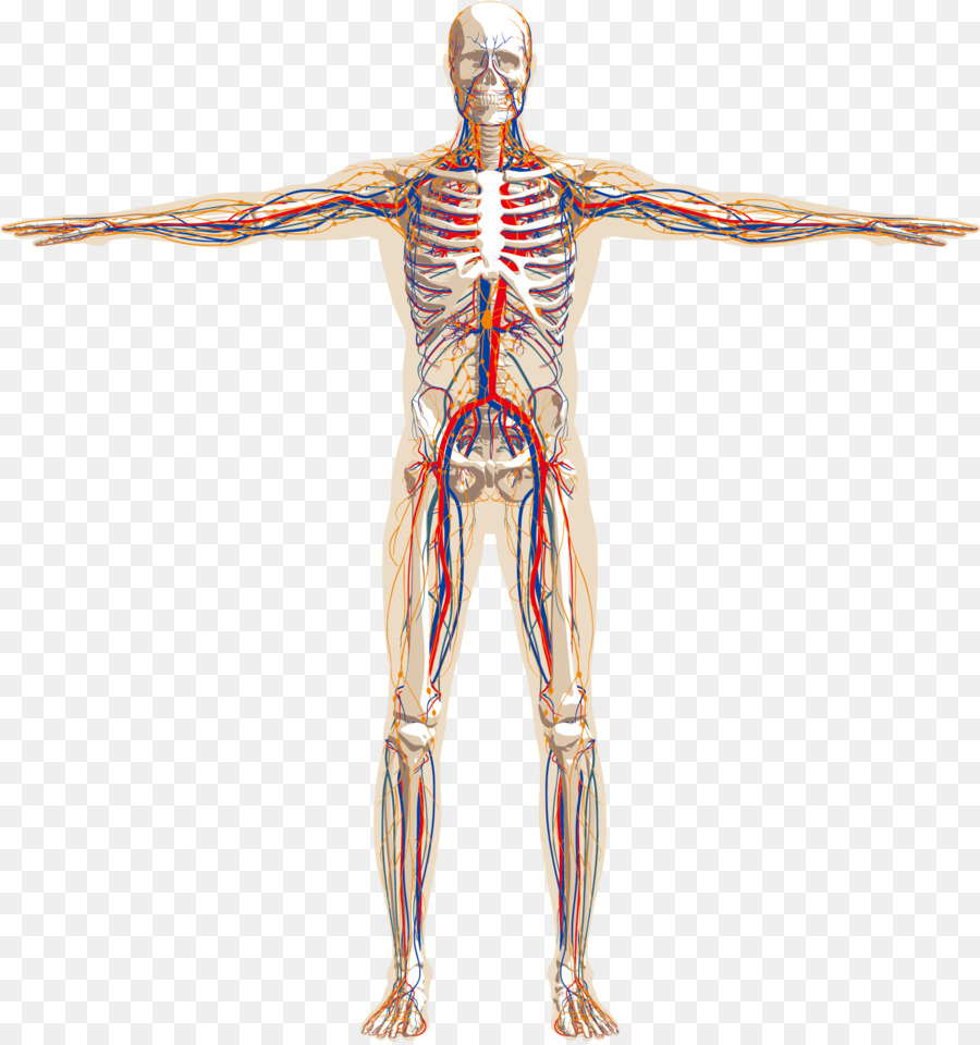 human body human skeleton nervous system anatomy circulatory system rh kisspng com body schematic for 2002 toyota camry , 4 cyl body schematic