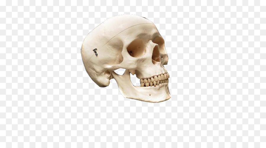 Human Skull Anatomy Human Skeleton Bone Decorative Antique Skull