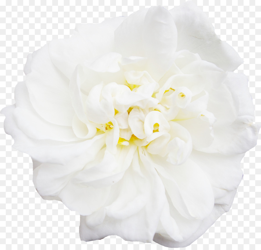 White flower peony whitepeonydecorationflowers png download white flower peony whitepeonydecorationflowers mightylinksfo