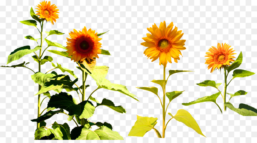 four cut sunflowers common sunflower two cut sunflowers clip art rh kisspng com sunflowers clip art free sunflower clip art borders