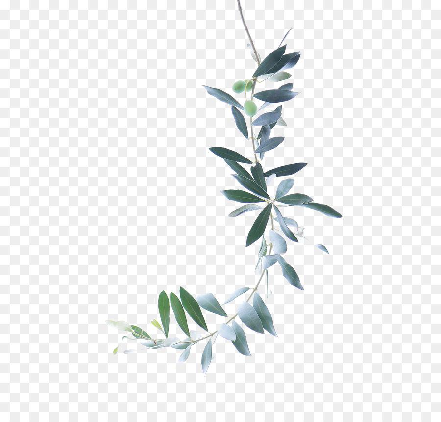 Pintura a la acuarela rama de Olivo - Hojas Verdes png dibujo ...