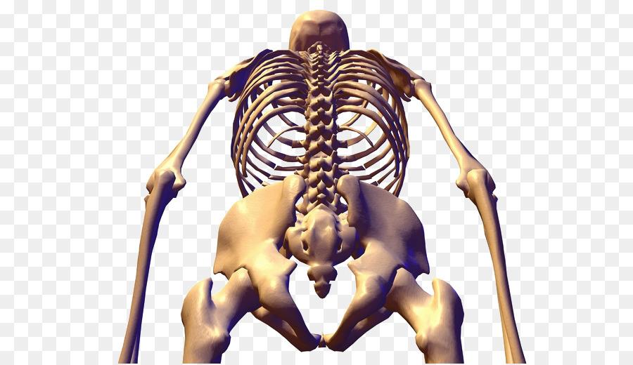 Human Skeleton Bone Anatomy Pelvis Human Skeleton Png Download