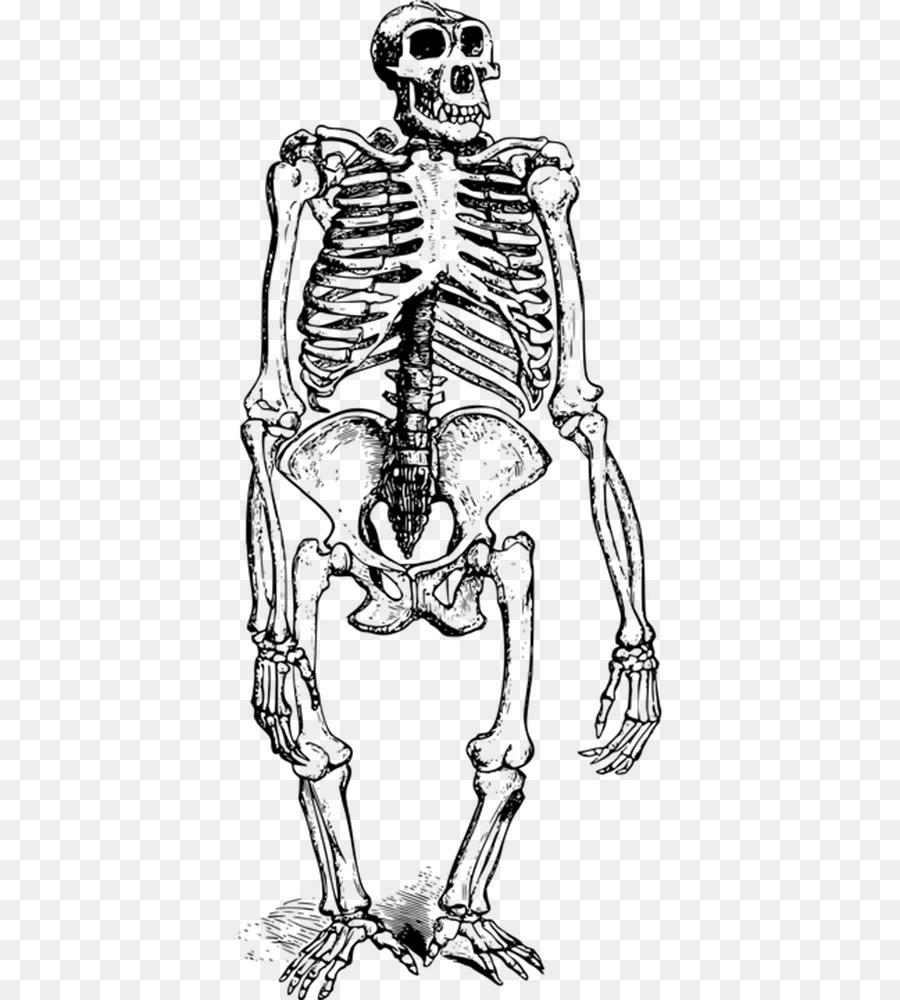 Gorilla Orangutan Ape Skeleton - Simple black gorilla animal bones ...
