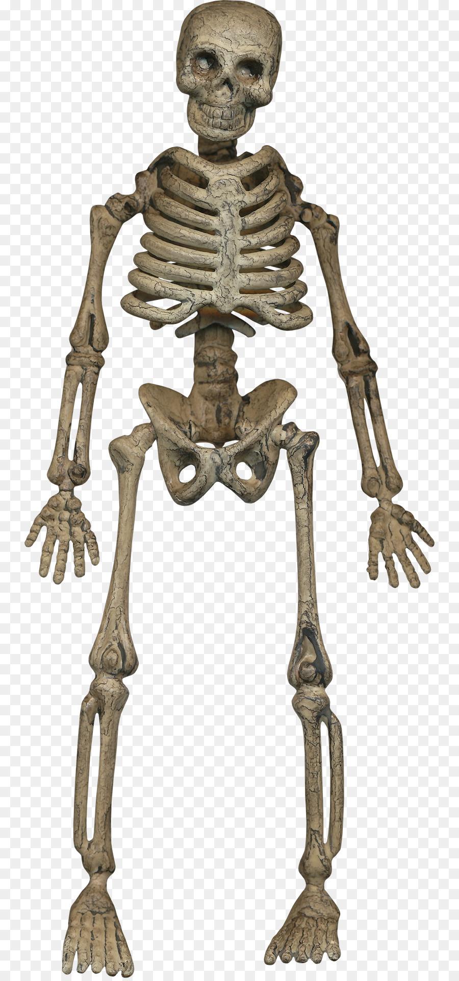 Human Skeleton Homo Sapiens Bone Human Skeleton Png Download 804