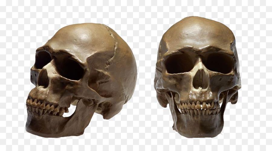 Skull No Homo Sapiens Therapy Ga Human Skeleton Cranial Head Png