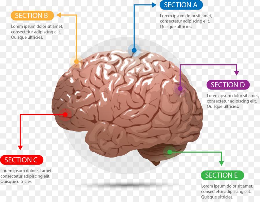Human Brain Agy Cerebrum Euclidean Vector Plastic Brain Chart Png