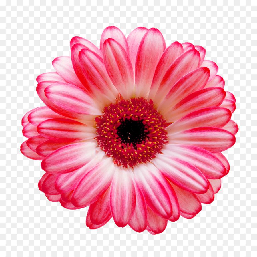 Transvaal Daisy Flower Common Daisy Stock Photography White