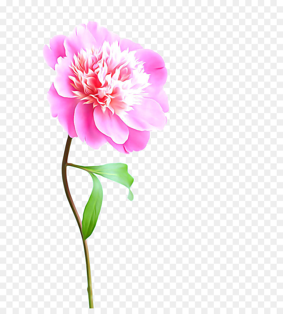 Flower Pink Stock Photography Peony Peony Png Download 683982