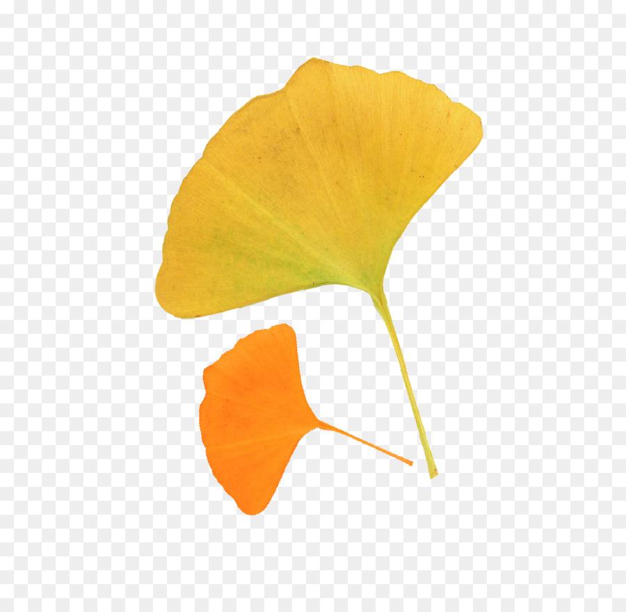 leaf ginkgo biloba autumn deciduous autumn leaves ginkgo leaves