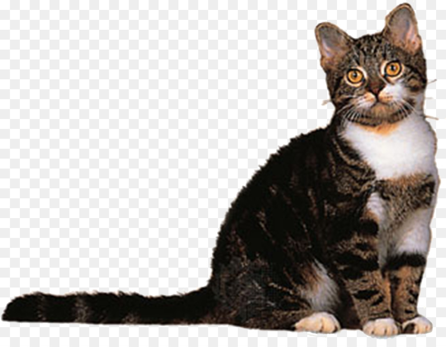 American Wirehair American Shorthair American Bobtail Bombay cat ...