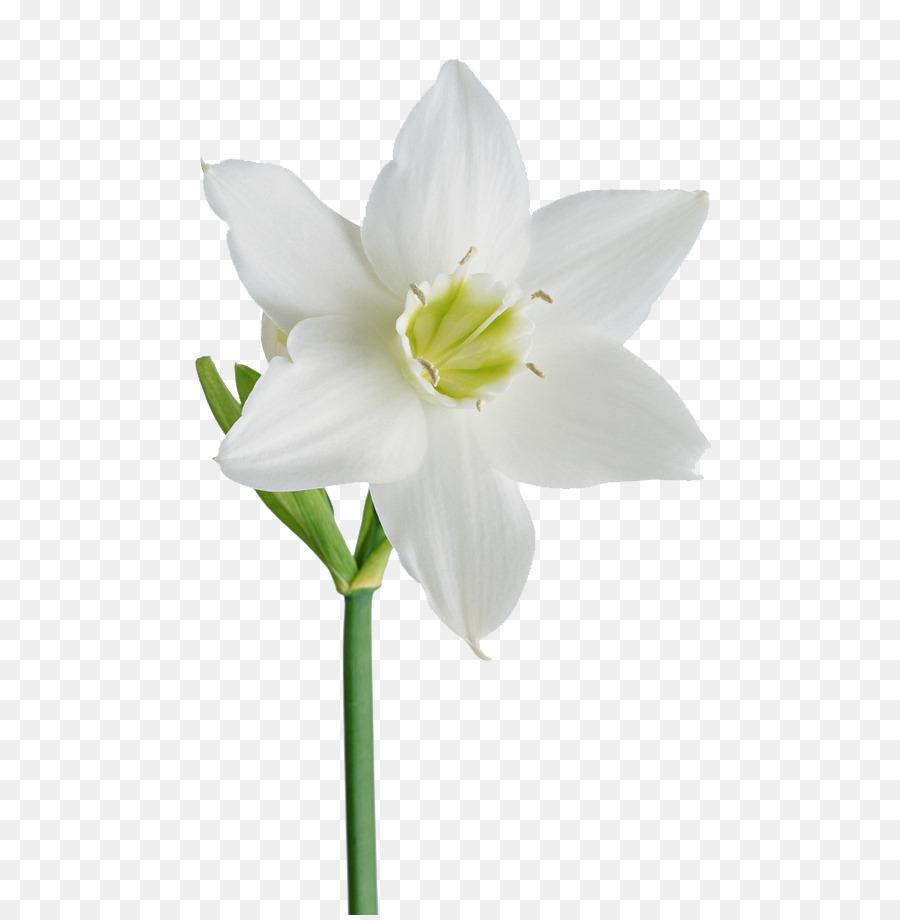 Flower White Garden roses Wallpaper - White rose png download - 650 ...