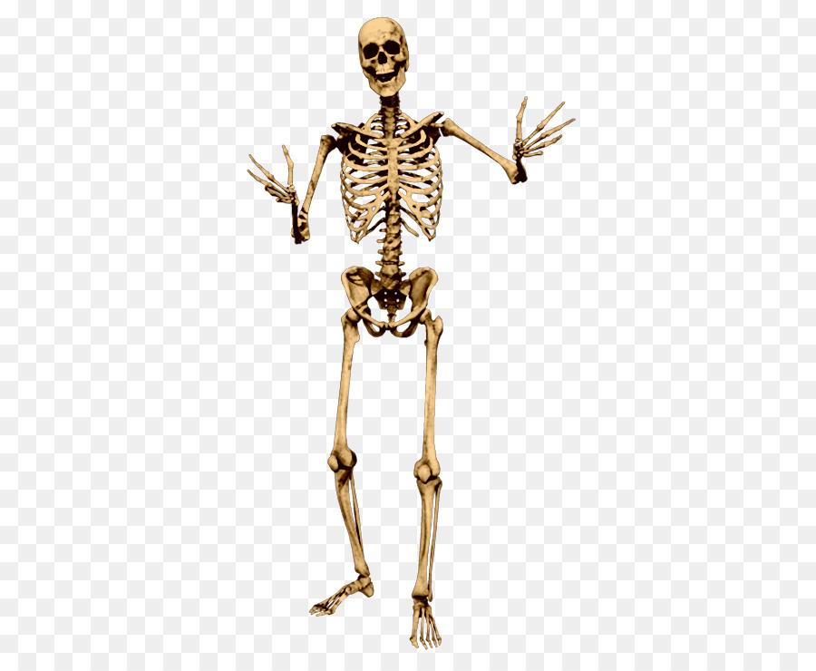 Esqueleto humano Huesos del Cráneo - Cráneo esqueleto png dibujo ...