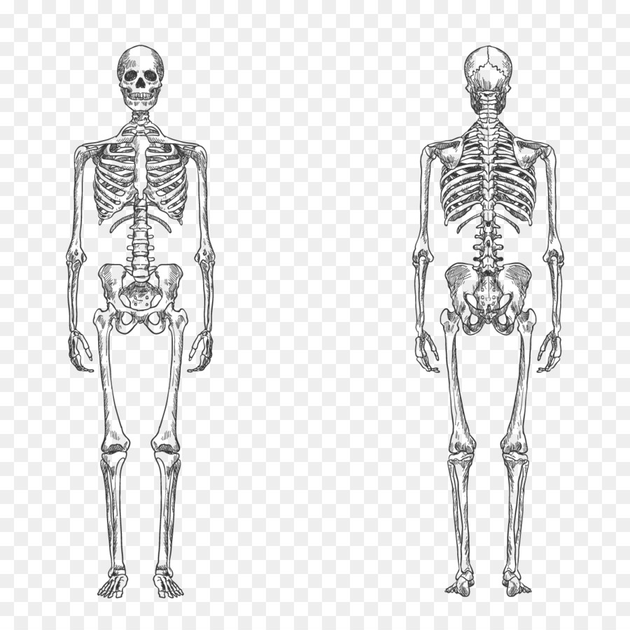 Human Skeleton Bone Human Body Anatomy Vector Human Skeleton Png