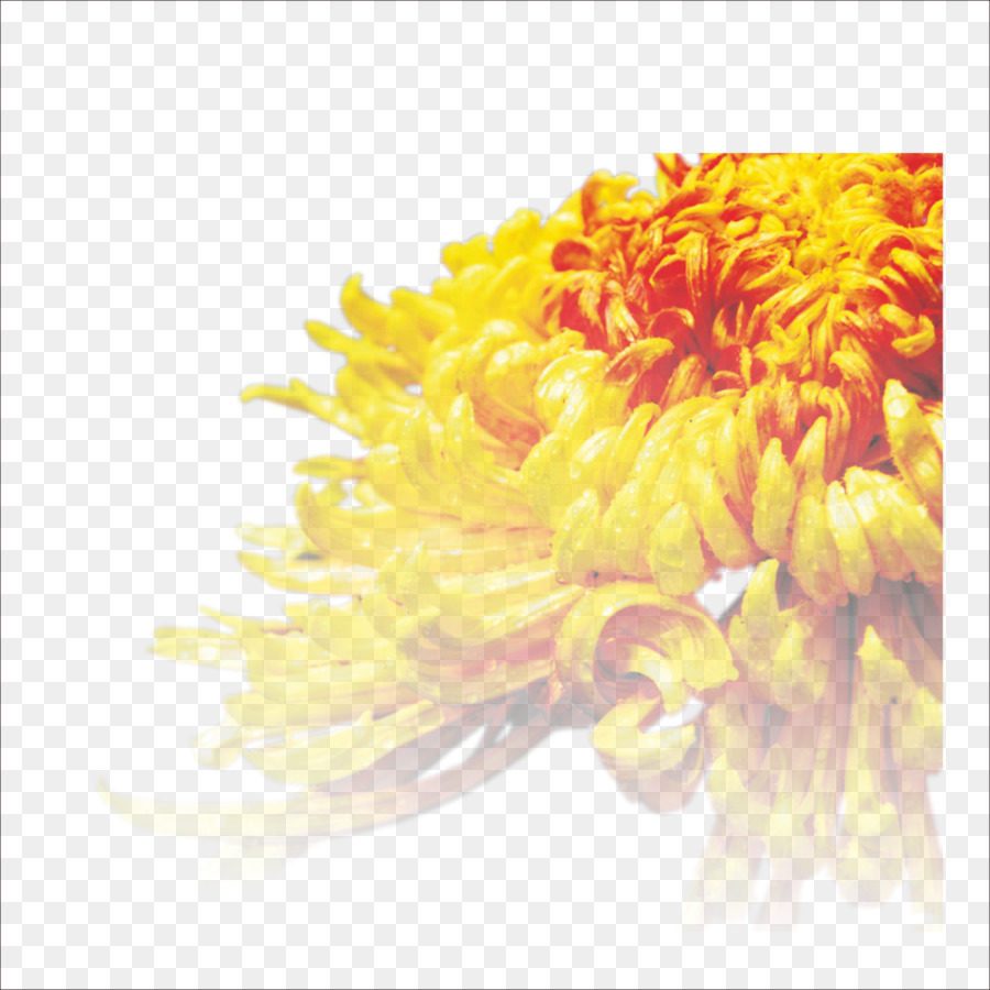Chrysanthemum Tea Cut Flowers Transvaal Daisy Chrysanthemum Png