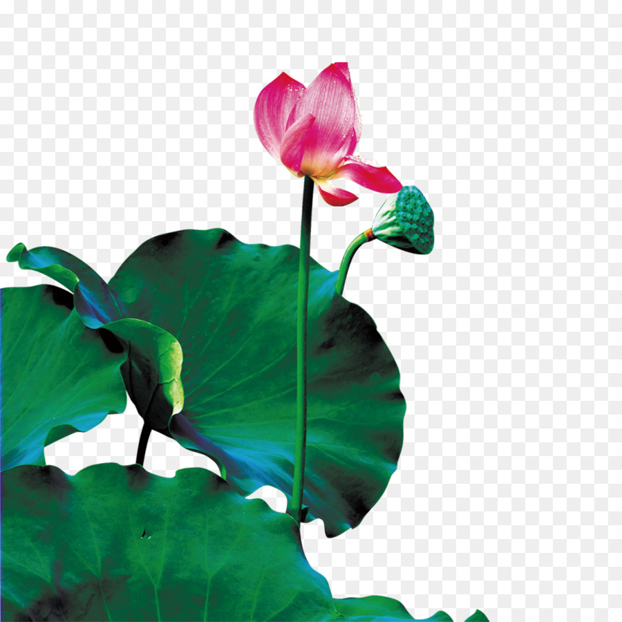 Nelumbo nucifera drop lotus seed lotus lotus png download 1500 nelumbo nucifera drop lotus seed lotus lotus izmirmasajfo