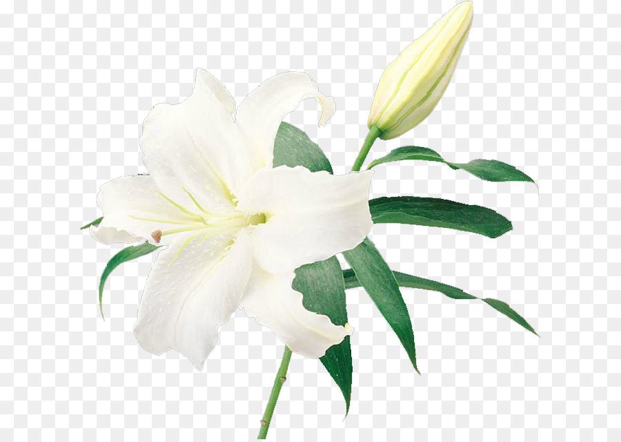 Lilium flower yuri photography white lily png download 668636 lilium flower yuri photography white lily mightylinksfo
