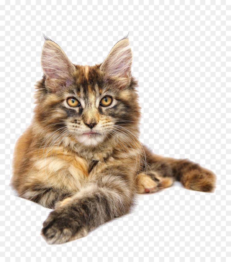 A unique breed of cat - Siberian