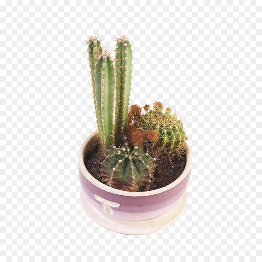 Cactaceae Succulent Plant Flowerpot Stenocereus Thurberi Pink