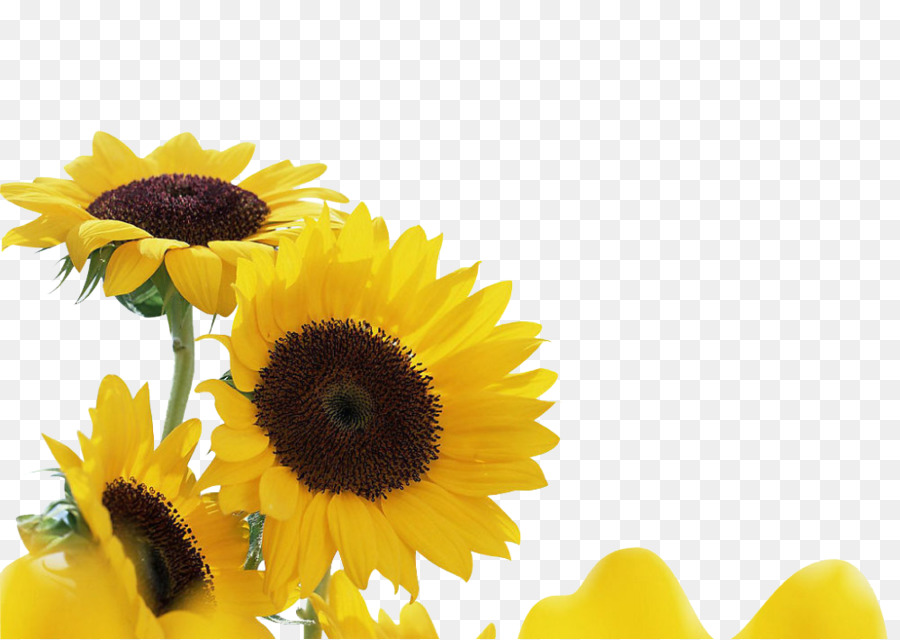 Common sunflower song youtube plant hey brother yellow sunflowers common sunflower song youtube plant hey brother yellow sunflowers mightylinksfo