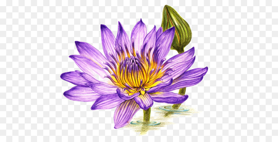 Colored Pencil Drawing Watercolor Painting Purple Lotus Png