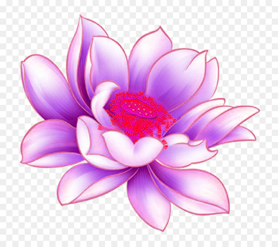 Nelumbo Nucifera With Purple Lotus Picture Material Png Download