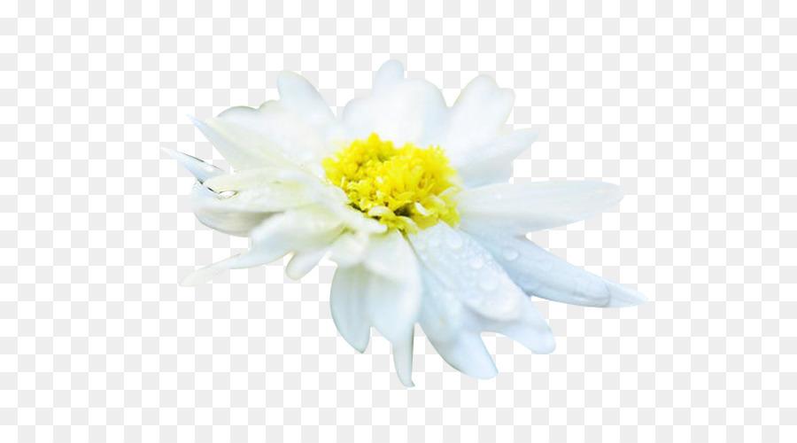 Chrysanthemum xd7grandiflorum chrysanthemum tea euclidean vector chrysanthemum xd7grandiflorum chrysanthemum tea euclidean vector resource hang white chrysanthemum picture material mightylinksfo