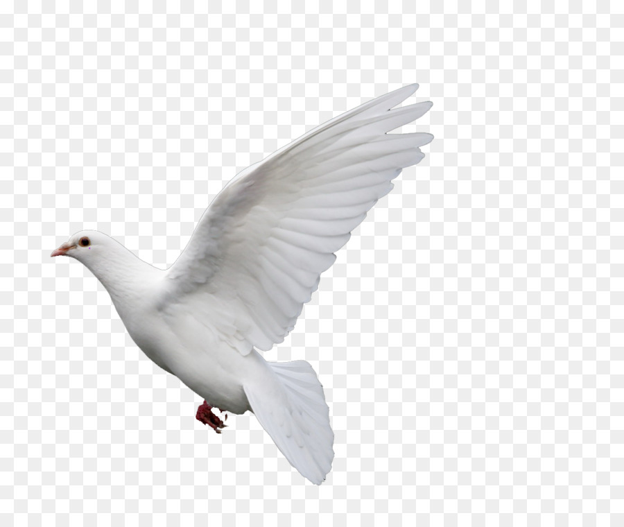 Rock Dove Columbidae Goose Doves As Symbols Pigeon Png Download