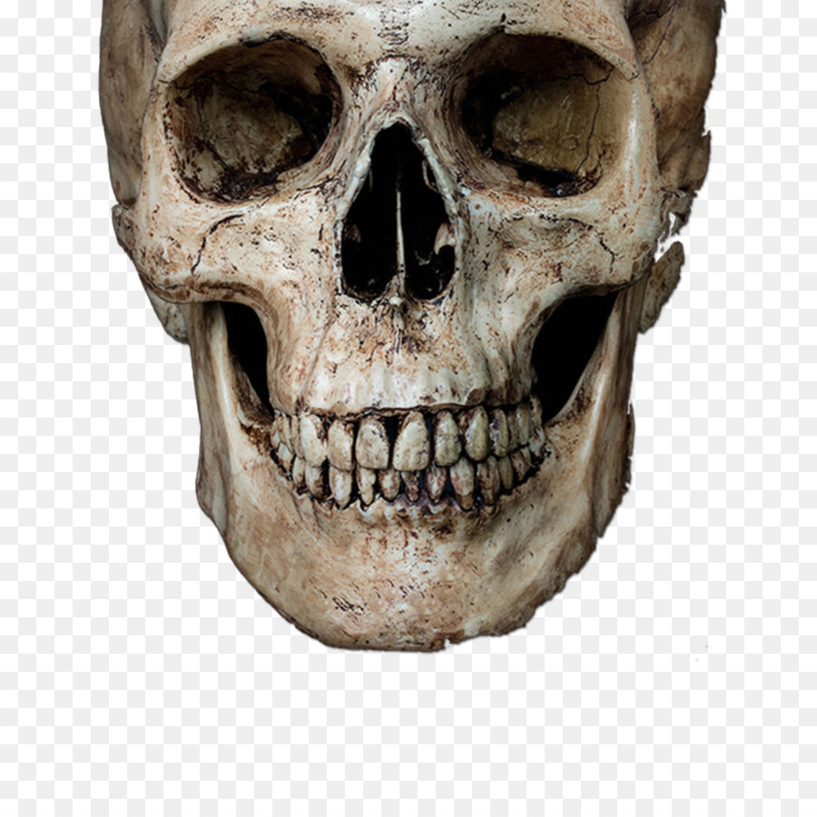 Skull Stock Photography Royalty Free Human Skeleton Skeleton Head