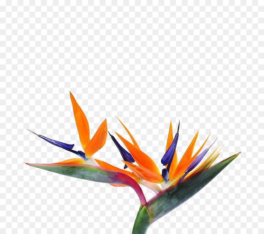 Strelitzia reginae Bird-of-paradise Flower Seed - Unique shape ...