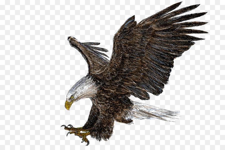 bald eagle drawing illustration eagle wings png download 1000