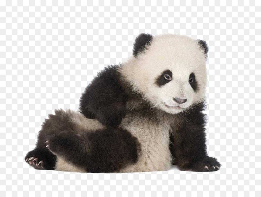 Giant Panda Greeting Card Happy Birthday To You Panda Sitting On