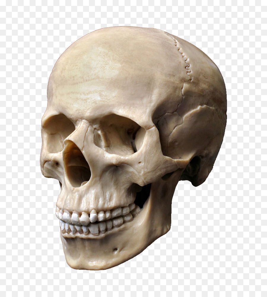 human skull stock photography human skeleton human head skull png