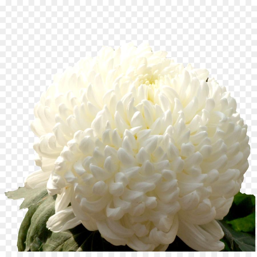 google bilder blumen chrysantheme xdgrandiflorum google-bilder-designer-schnitt