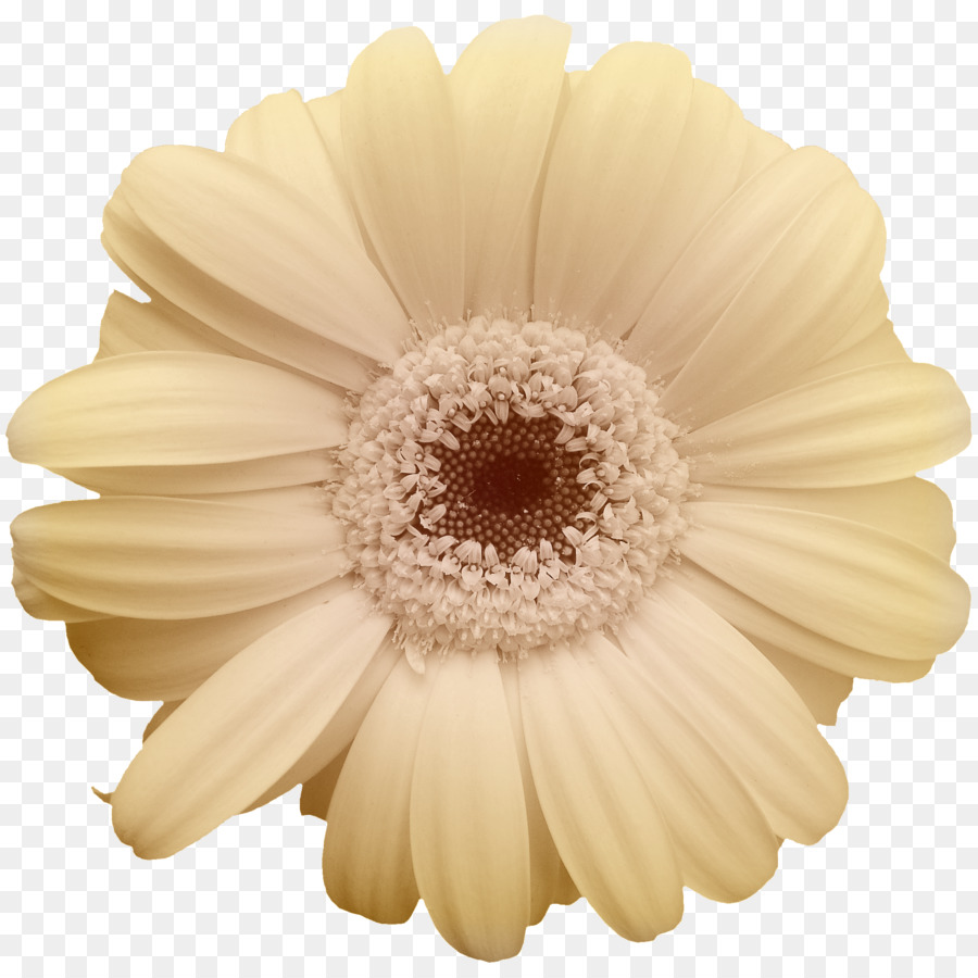 Common Daisy Yellow Flower Transvaal Daisy Beige Chrysanthemum