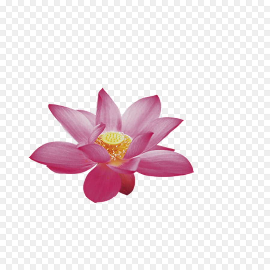 Nelumbo Nucifera Clip Art Lotus Png Download 11811181 Free