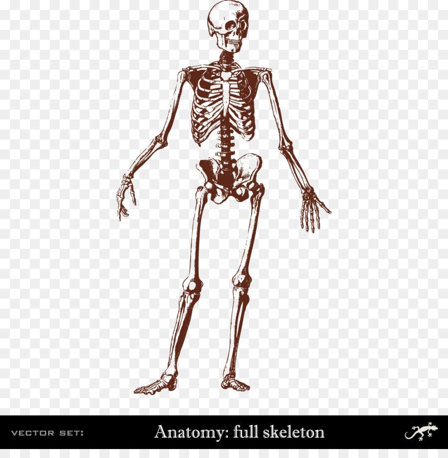Human skeleton Human body Bone Anatomy - Human body skeleton png ...