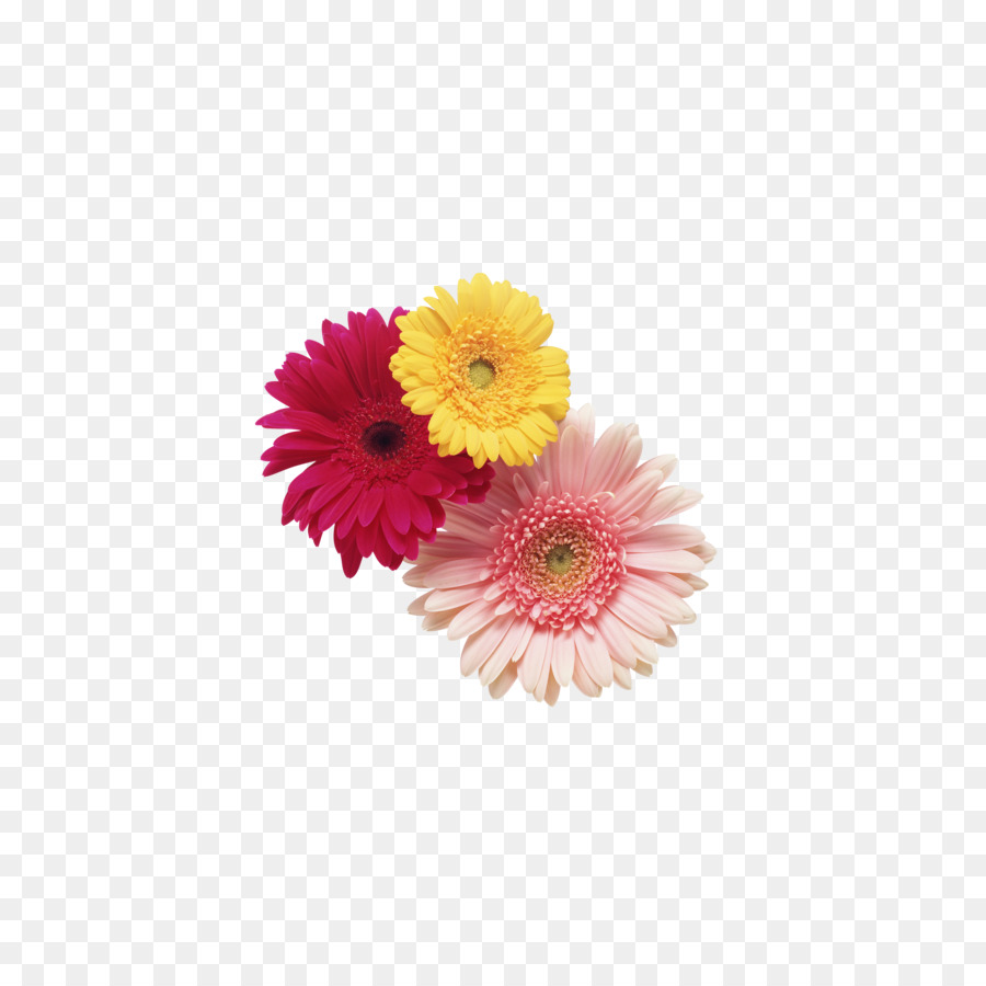 Transvaal Daisy Cut Flowers Stock Photography Clip Art