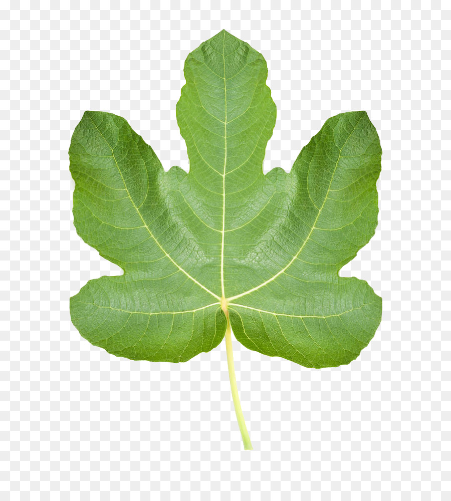 Common Fig Ficus Pumila Leaf Stock Photography Realistic Leaves