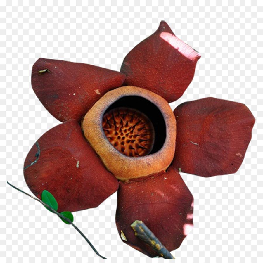 google bilder blumen petal flower google bilder-icon - scheu vor dem könig der
