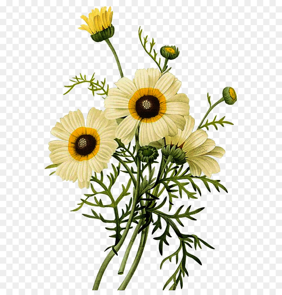 Common daisy Botanical illustration Chrysanthemum Illustration ...