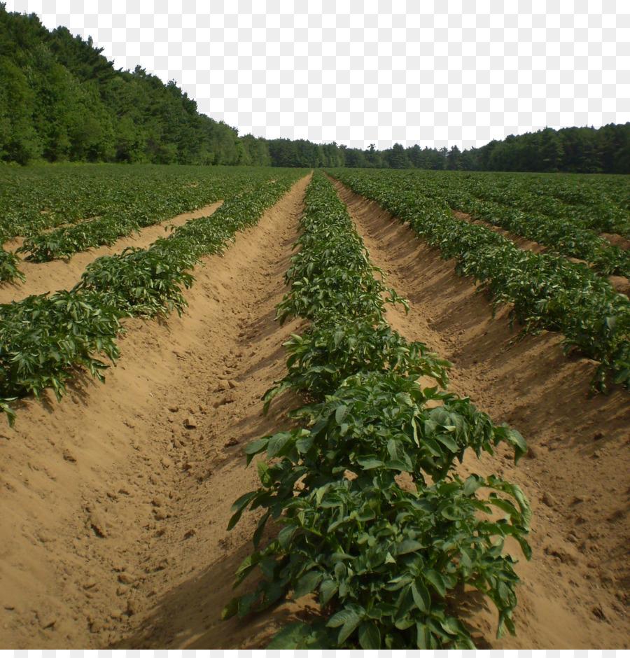 Potato Agriculture Vegetable Harvest Pixabay - Farm vegetable garden ...