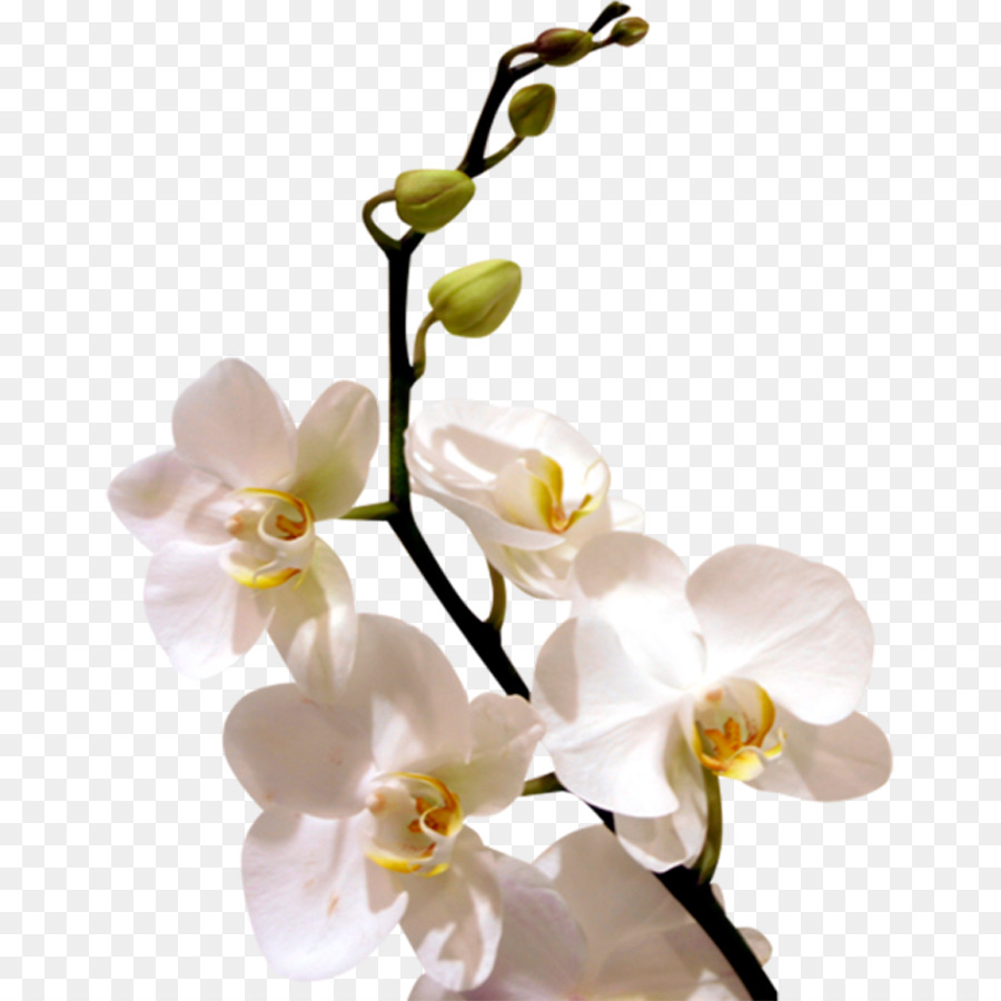 Display Resolution Whatsapp Wallpaper White Orchid Flowers Png