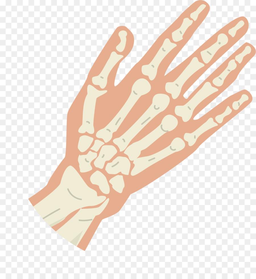 Daumen Knochen Hand Knuckle - Hand skeleton-Struktur png ...