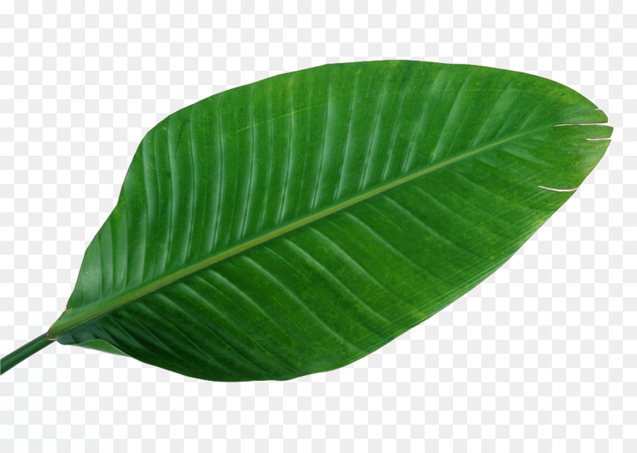 Musa Basjoo Leaf Green Banana Wallpaper