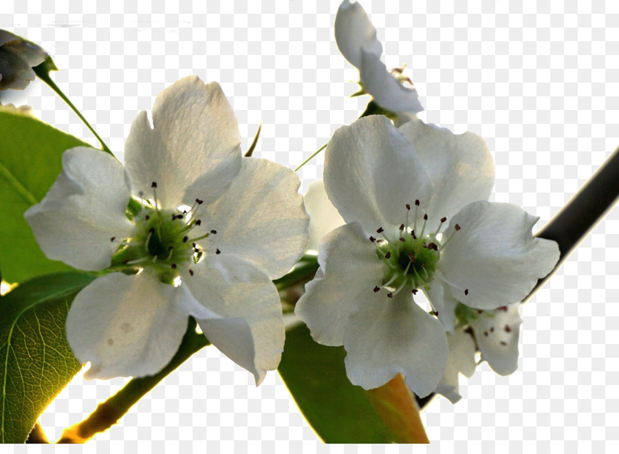 Asian Pear Blossom Flower - Fresh Pear Tree Flowers Png Download - 19201376 - Free -2665