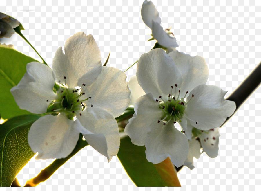 Asian pear blossom flower fresh pear tree flowers png download asian pear blossom flower fresh pear tree flowers mightylinksfo